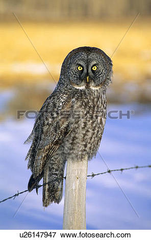 Picture of Adult great gray owl (Strix nebulosa) hunting in a.