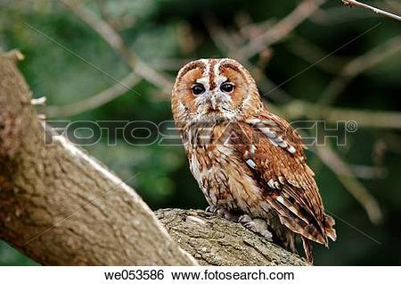Stock Images of Tawny Owl (Strix aluco) we053586.