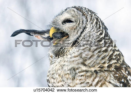 Stock Photo of Barred owl (Strix varia) ingesting a northern.