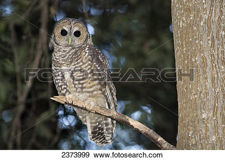 Stock Photograph of Spotted Wood Owl (Strix seloputo) in an old.