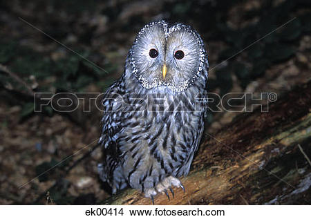 Stock Photo of Habichtskautz, Ural Owl, Strix uralensis ek00414.