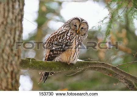 Stock Photography of Ural Owl.