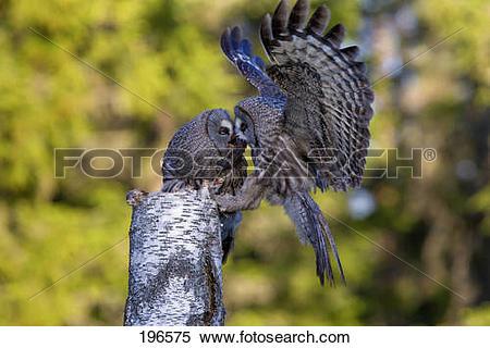 Stock Image of Great Grey Owl, Great Gray Owl (Strix nebulosa.