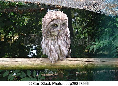Stock Image of Single Great Grey Owl, Strix Nebulosa, Carabo Lapon.