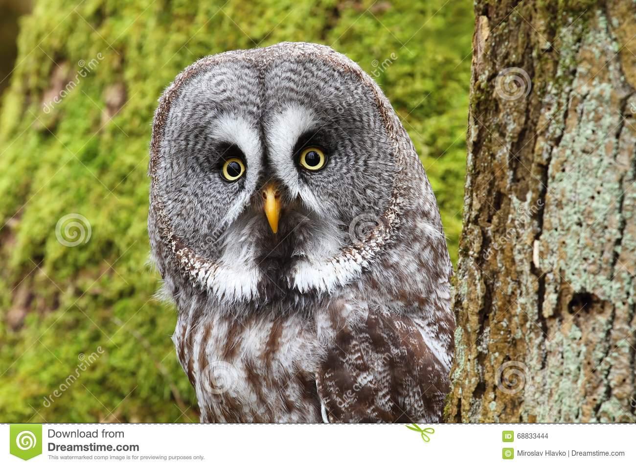 Portrait Of Strix Nebulosa Owl Stock Photo.