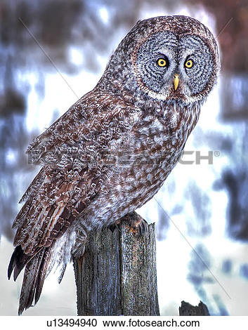 Stock Photography of Great Gray Owl, Strix Nebulosa, perched on.