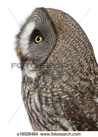 Stock Photo of Great Grey Owl (Strix nebulosa) x16026484.