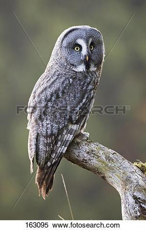 Stock Image of Great Grey Owl on branch / Strix nebulosa 163095.