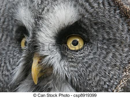 Stock Photographs of Great Grey Owl.