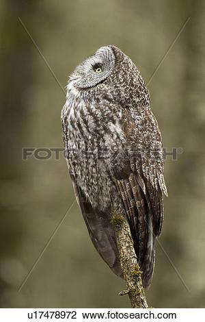 Stock Photo of Great Grey Owl, Strix nebulosa, Vancouver, BC.