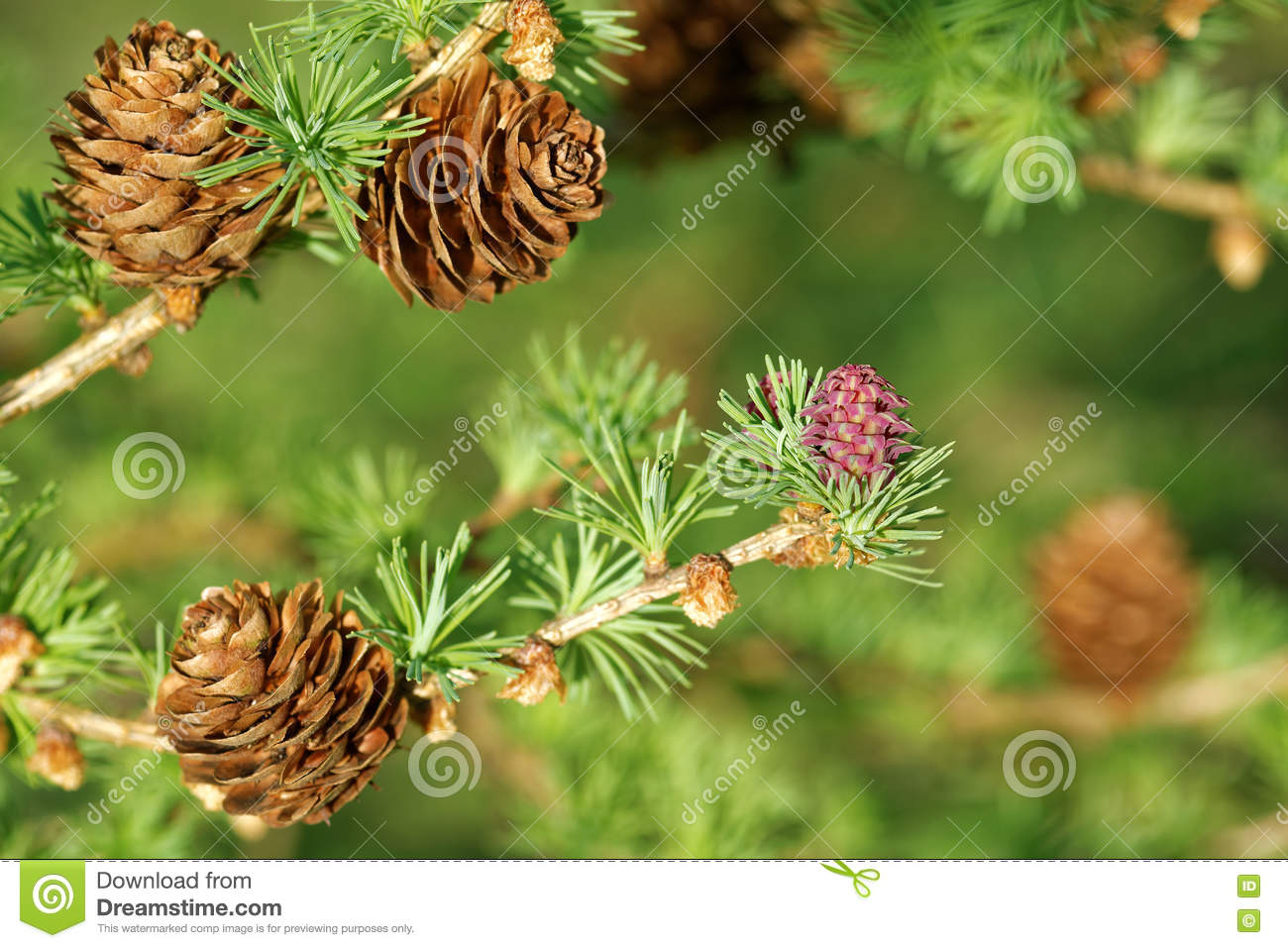 Larch Strobili Stock Photo.