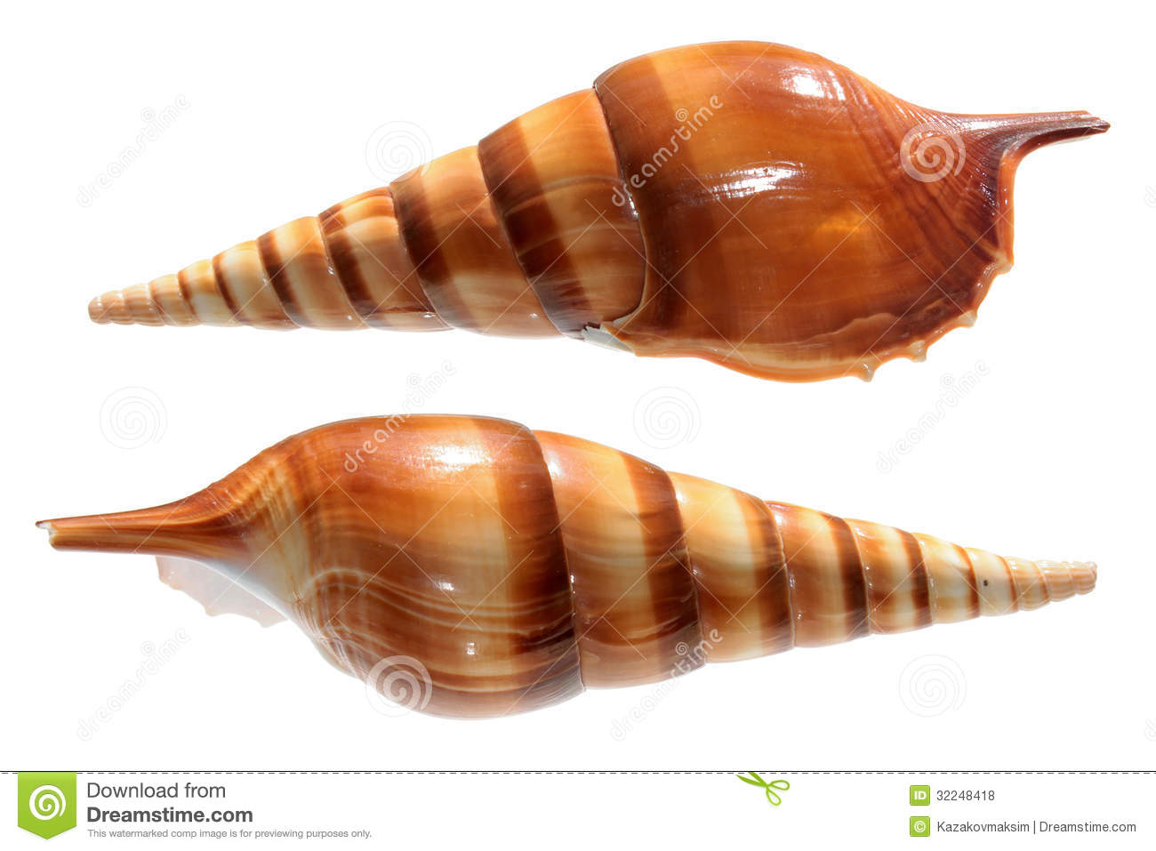 Strombidae Shells Stock Photo.