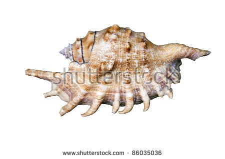 Strombidae Stock Images, Royalty.