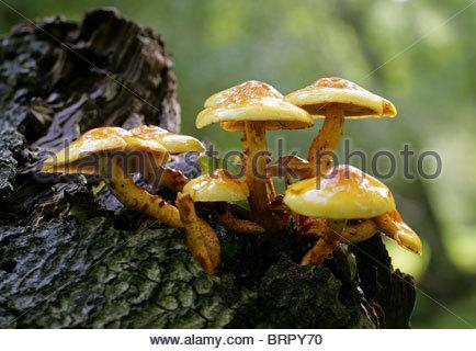 Pholiota Stock Photos & Pholiota Stock Images.