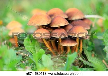 Pictures of Mushrooms Hypholoma sp., fam. Strophariaceae n87.