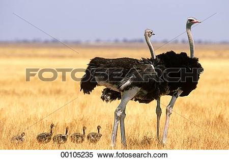 Stock Image of Juniors, Struthionidae, Struthioniformes, animal.