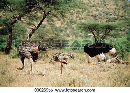 Stock Image of animal, Juniors, african, Struthioniformes.