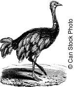 Struthionidae Vector Clip Art Illustrations. 6 Struthionidae.