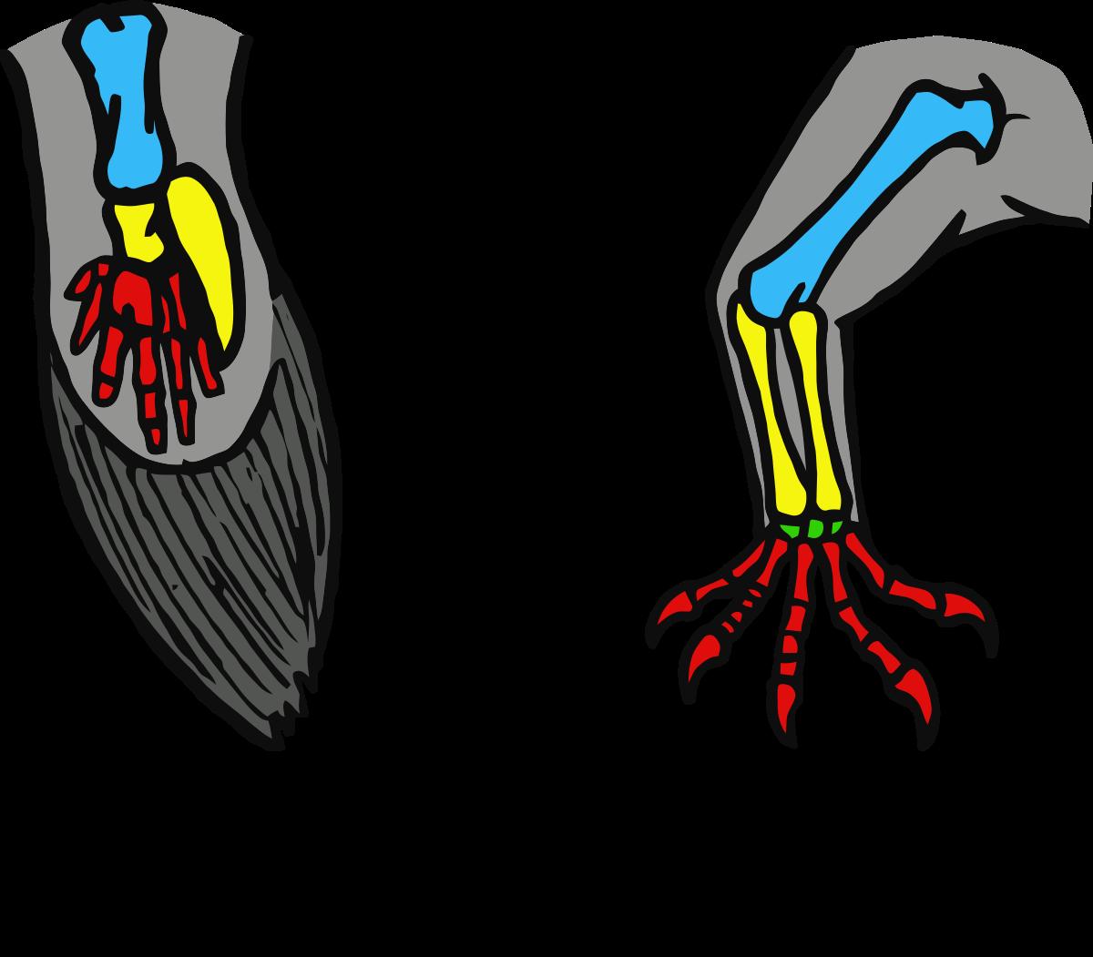 Limb (anatomy).
