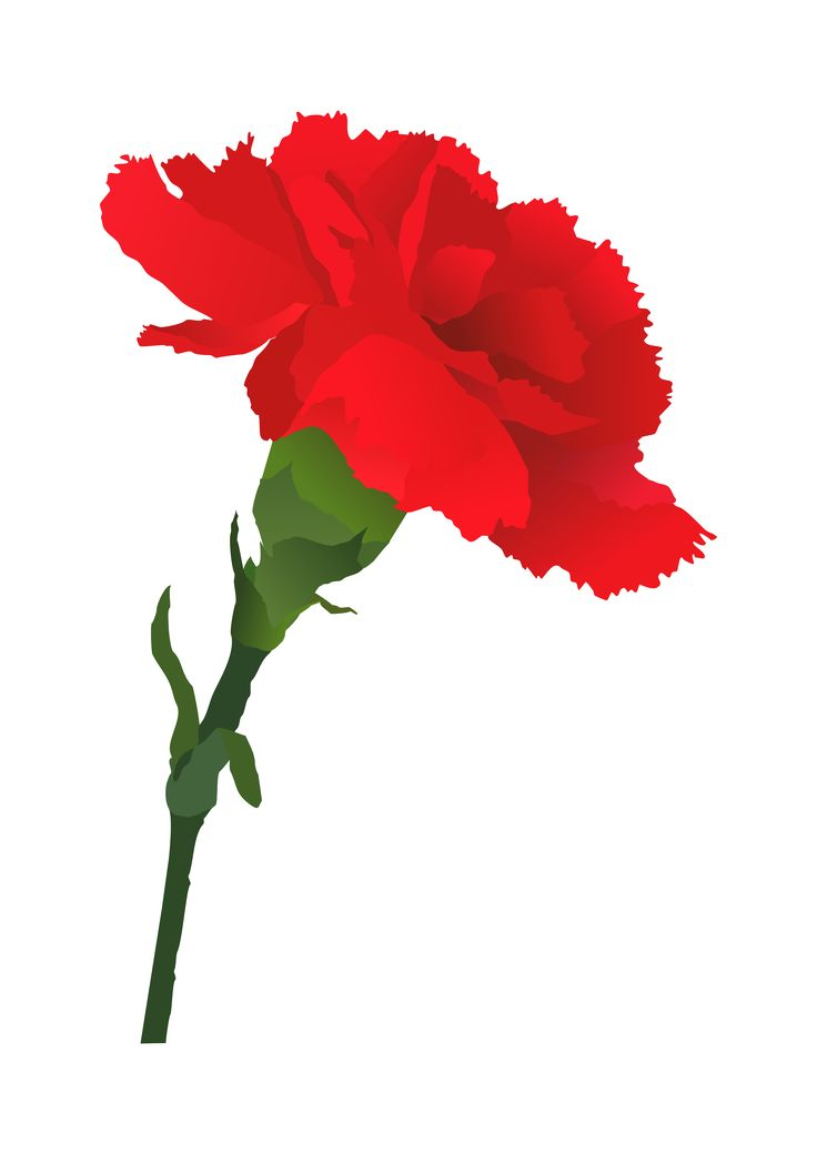 17 Best ideas about Red Carnation on Pinterest.