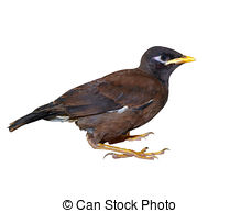 Stock Image of Bird (Mynas or Sturnidae) emotional shock perched.