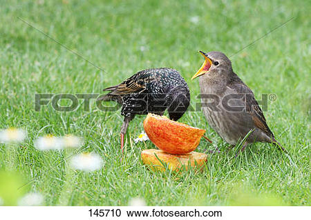 Stock Photography of Common Starling feeding squab / Sturnus.