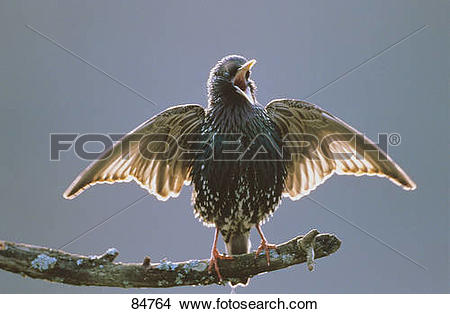 Stock Photo of Starling.
