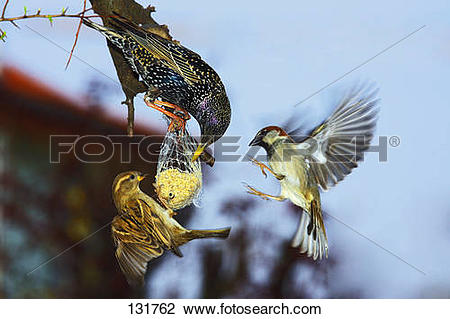 Stock Photo of starling and sparrow.