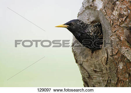 Picture of starling looking out of den 129097.