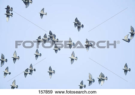 Stock Photograph of flock of European Starlings.