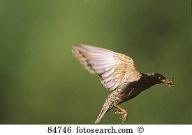 Sturninae Stock Photo Images. 29 sturninae royalty free images and.
