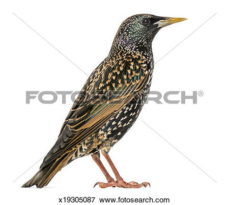 Picture of Side view of a Common Starling, Sturnus vulgaris.