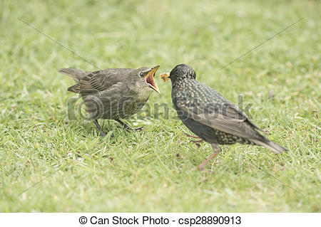 Stock Photography of Starling, Sturnus vulgaris, baby being fed by.