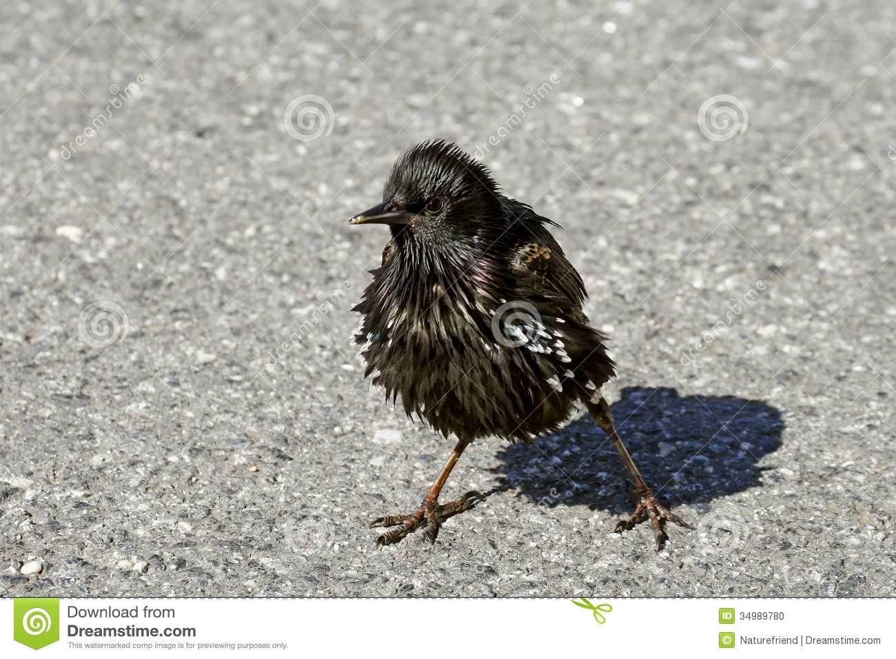 Starling, Sturnus Vulgaris, Stock Photo.