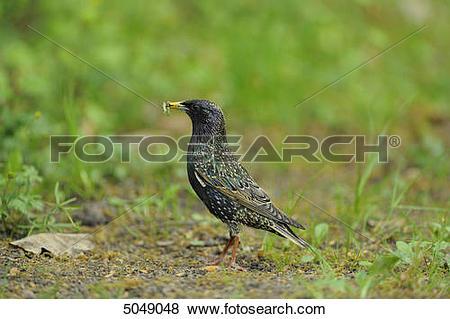 Pictures of Starling (Sturnus vulgaris), Bavaria, Germany 5049048.