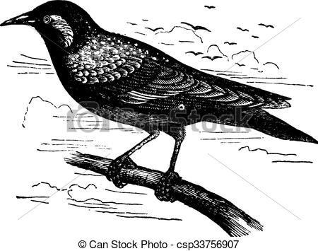 Vector Clipart of Common Starling or European Starling or Sturnus.