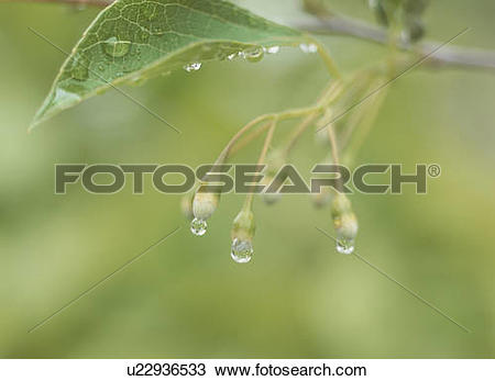Stock Photo of Buds of Styrax (Styrax japonicus), Tochigi.