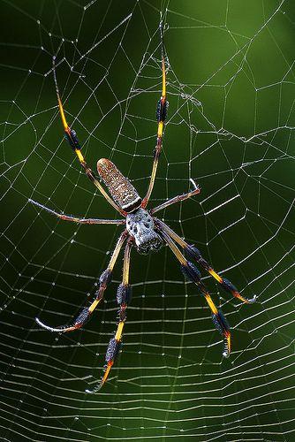 Black and Yellow Garden Spider, Fairchild Tropical Botanic Garden.