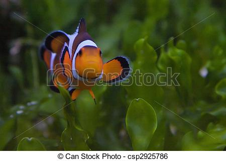 Stock Illustration of Clownfish and anemonefish are fishes from.