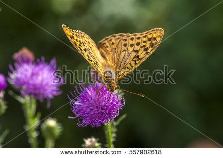 Nymphalidae Stock Photos, Royalty.