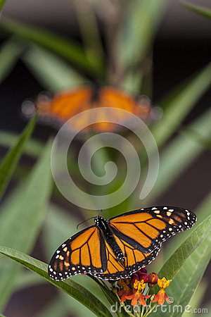 Monarch Butterfly (Danaus Plexippus) Stock Photo.