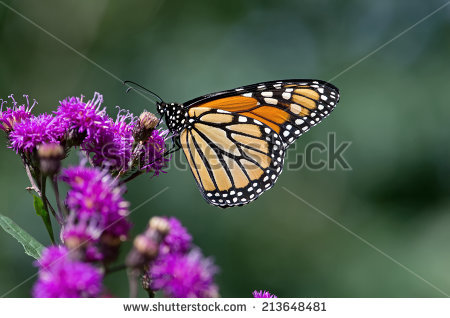 Milkweed Butterfly Stock Photos, Royalty.