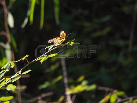 Milkweed Butterflies Images, Stock Pictures, Royalty Free Milkweed.