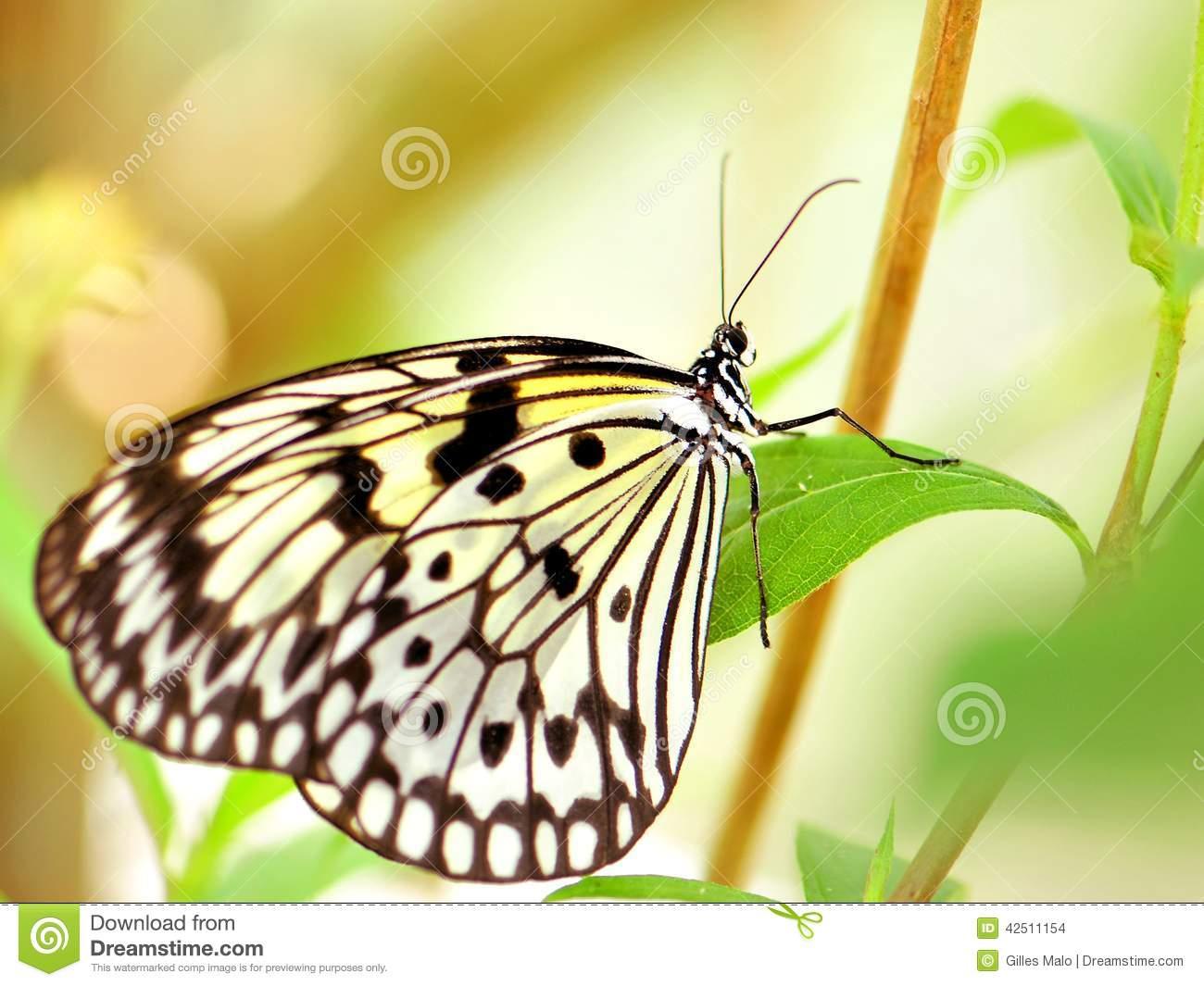 Ceylon Tree Nymph Butterfly (Idea Iasonia) Stock Photo.
