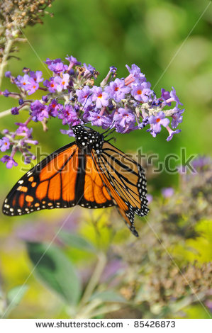 American Butterfly Flower Orange Stock Photos, Images, & Pictures.