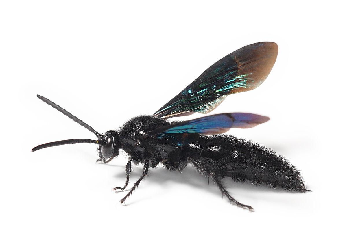 Scoliidae.