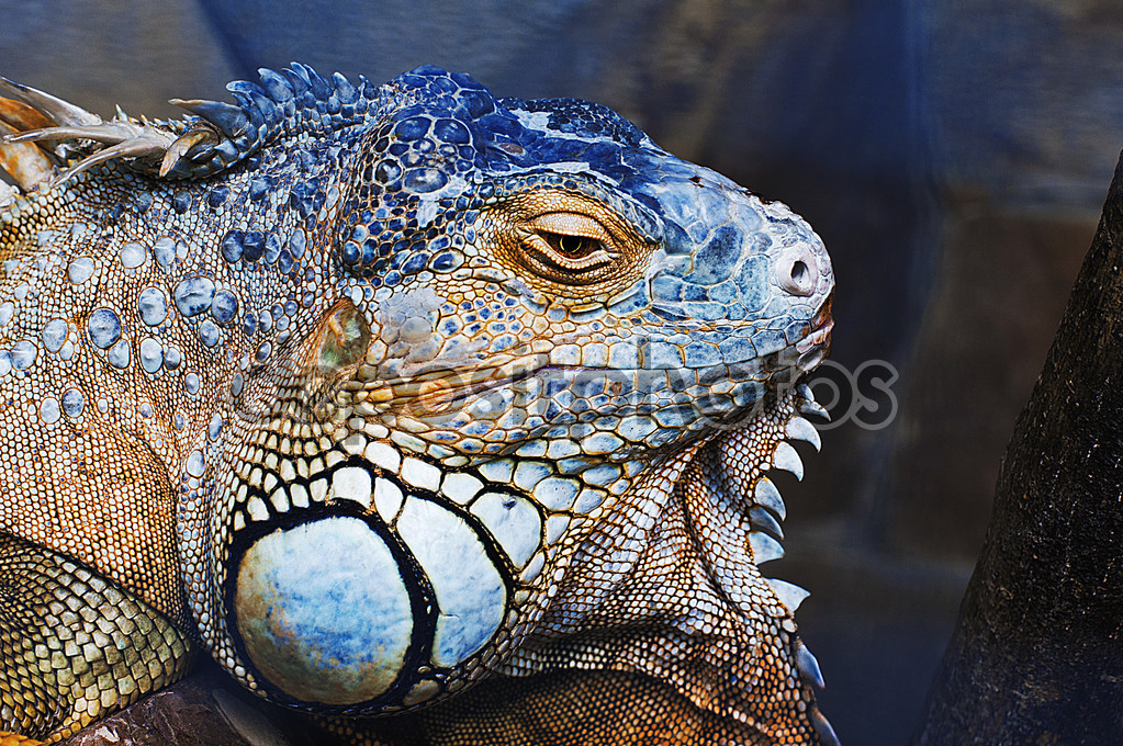 Green iguana male head — Stock Photo © iPromus #110390118.