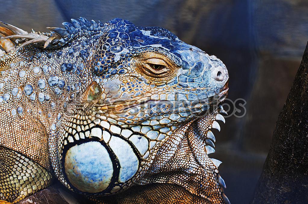 Green iguana male head — Stock Photo © iPromus #110390118.