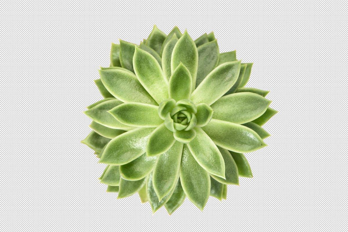 Succulent transparent background PNG.