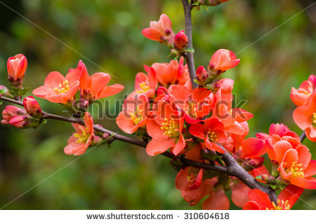 """""""rhododendron Illustration"""" Stock Photos, Royalty."""